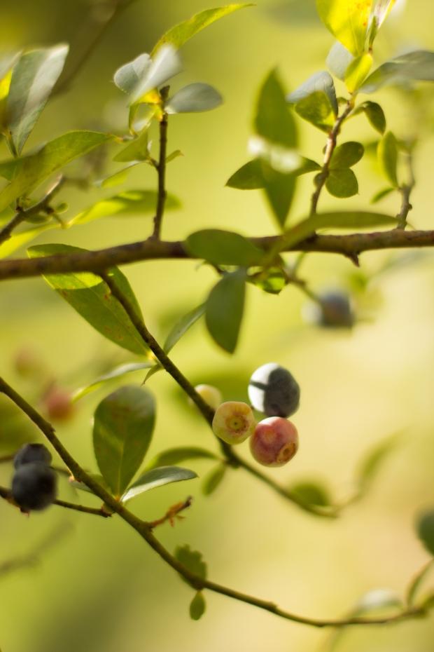 BlueberryHill002