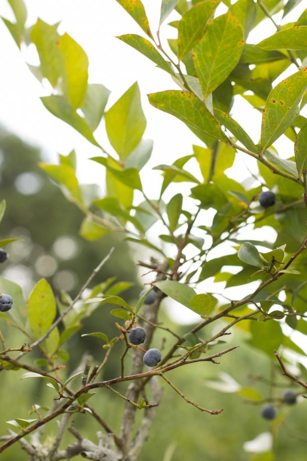 BlueberryHill005