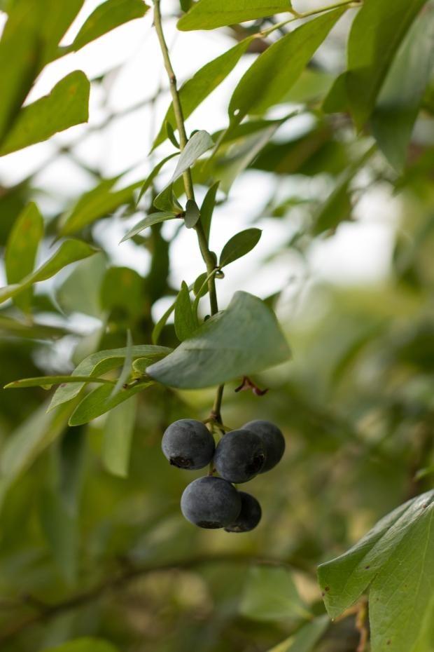 BlueberryHill008