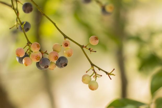 BlueberryHill011