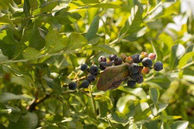BlueberryHill014